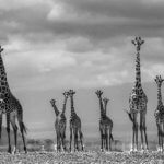 Giraffe City