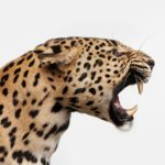 Spotted Leopard Snarl